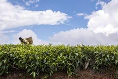 Buissons de thé s'élevant en montagnes kenyanes Image libre de droits