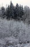 Buissons et forêt de sapin après chutes de neige Images stock