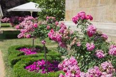 Buissons frais de rose sauvage beaux vieux des roses dans le jardin vert Photos stock