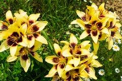 Buissons jaunes de lis photographie stock libre de droits