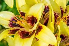 Buissons jaunes de lis images libres de droits