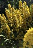 Buissons jaunes pelucheux de fleur des cloches dans le jardin Image stock