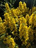 Buissons jaunes pelucheux de fleur des cloches dans le jardin Photos stock