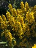 Buissons jaunes pelucheux de fleur des cloches dans le jardin Image libre de droits
