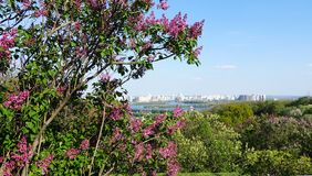 Buissons lilas dans le jardin botanique à Kiev Photos stock