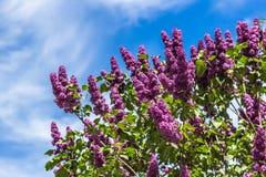 Buissons lilas dans le jardin une journée de printemps ensoleillée contre le ciel bleu Image stock