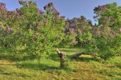 Buissons lilas de floraison dans un jardin botanique Photo stock