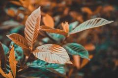 Buissons ordonnés de thé vert à la plantation de vert-thé de l'île de Jeju, Corée du Sud photos stock