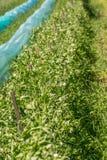 Buissons organiques de pois doux s'élevant sous le Sun photo stock