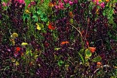 Buissons pourpres avec les fleurs oranges image libre de droits