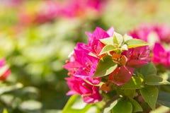 Buissons roses Photo libre de droits