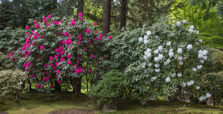 Buissons rouges et blancs de rhododendron Photo libre de droits