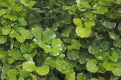 Buissons vert clair Image libre de droits