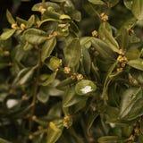 Buissons verts avec de petits bourgeons et neige sur les feuilles images libres de droits