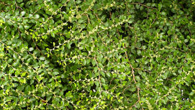 Buissons verts dans le jardin d'été Photographie stock