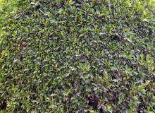 Buissons verts, fond vert Photographie stock