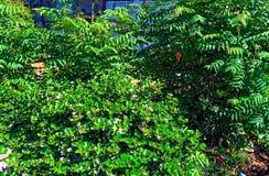 Buissons verts rayonnants avec les fleurs blanches photographie stock libre de droits