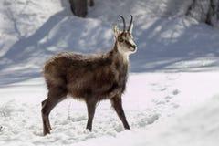Buitengewone Gemzen in het Nationale Park, Aosta royalty-vrije stock fotografie