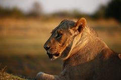 Buitengewone jonge sub volwassen mannelijke leeuw klaar om de trots te verlaten royalty-vrije stock afbeeldingen