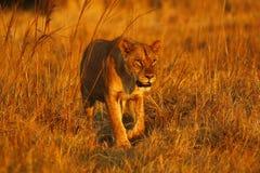Buitengewone jonge vrouwelijke leeuw in de trots royalty-vrije stock afbeeldingen