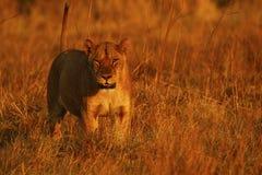 Buitengewone jonge vrouwelijke leeuw in de trots stock foto
