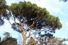 Buitengewone pijnboom Stock Fotografie