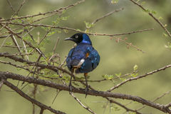 Buitengewone Starling royalty-vrije stock foto