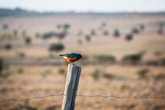 Buitengewone starling zitting op een omheining stock foto's