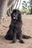 Buitengewoon brede zwarte het kwijlen van Newfoundland hond status die aan haar recht kijken Stock Afbeelding