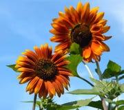 Buitengewoon, mooi rred zonnebloem Stock Afbeeldingen