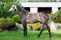 Buitenkant van grijs paard Stock Afbeeldingen