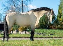 Buitenkant van licht-daim Welse poney stock afbeelding