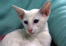 Buitenlandse witte slanke het huisdieren elegante Oosterse blauwe ogen van het kattenras royalty-vrije stock foto's