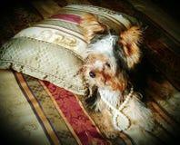 Buitensporig puppy Stock Afbeelding
