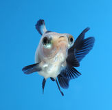 Buitensporige goudvis op blauwe achtergrond Stock Afbeelding