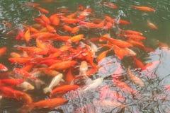Buitensporige karpersvissen Stock Foto