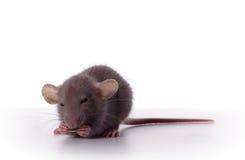 Buitensporige Rat met Zonnebloemzaad Stock Afbeelding