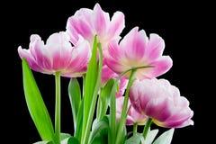 Buitensporige Roze Tulpen op Zwarte royalty-vrije stock fotografie