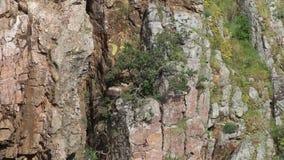 Buitre de Griffon con las alas separadas, españoles Extremadura almacen de metraje de vídeo