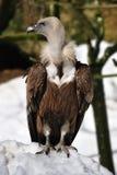 Buitre de Griffon (fulvus de los Gyps) Fotografía de archivo