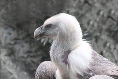 Buitre de Griffon - fulvus de los Gyps Foto de archivo libre de regalías