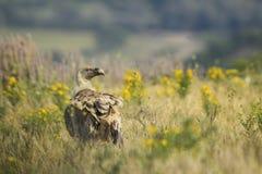 Buitre de Griffon - fulvus de los Gyps Fotografía de archivo