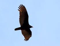Buitre de pavo del vuelo Fotografía de archivo