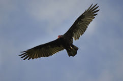 Buitre de pavo del vuelo Foto de archivo