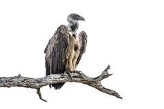 Buitre del cabo en el parque nacional de Kruger, Suráfrica fotos de archivo