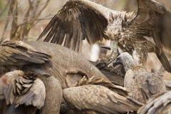 Buitre del cabo en un cadáver en el parque nacional de Kruger Imagenes de archivo