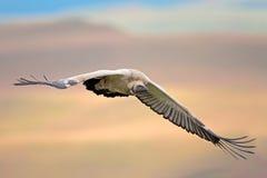 Buitre del cabo en vuelo Foto de archivo