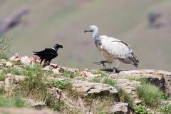 Buitre del cabo y cuervo necked blanco que se sientan en la montaña Fotografía de archivo