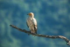 Buitre egipcio en la reserva de la fauna, Bulgaria Foto de archivo