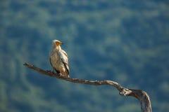 Buitre egipcio en la reserva Madjarovo de la fauna Foto de archivo libre de regalías
